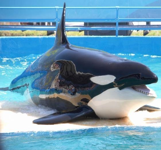 Orque_Marineland.jpg